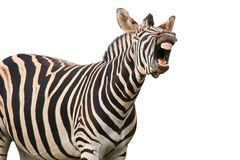 Shouting or Laughing Zebra Royalty Free Stock Photos