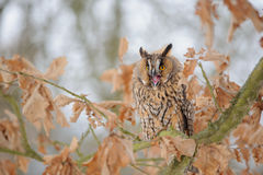 Shouting long-eared owl on tree branch Royalty Free Stock Images