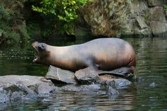 Shouting sea lion stock image