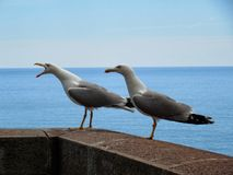 Shouting seagull Royalty Free Stock Photo