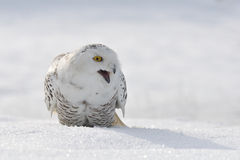 Shouting snowy owl. On snow field Royalty Free Stock Photography