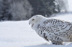 Shouting snowy owl. On snow stock photography
