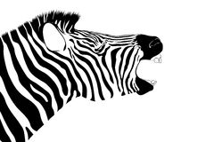 Shouting zebra isolate. Shouting zebra in black and white colors isolate Stock Image