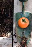 Shovel Catch. In the garden, a ripening tomato gets caught up for display Royalty Free Stock Photography