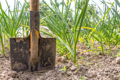 Shovel in the ground Stock Images