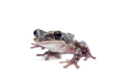 The shovel-headed tree frog, triprion petasatus, on white Stock Photography