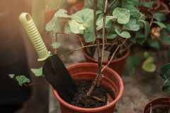 Shovel sticking out of the pot with plant closeup. Stock Image