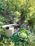 Shovel, watering can and cabbage in garden Royalty Free Stock Photography
