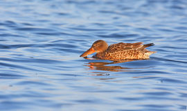 Shoveler (anas clypeata ) Stock Photography