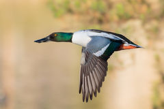 Shoveler downstroke. Northern Shoveler drake profile in flight Stock Photography
