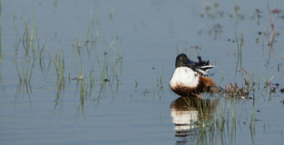 Shoveler Duck. A male Shoveler Duck (Anas clypeata) relaxes while cleaning it's feathers with it's characteristic huge bill at the Delta del Llobregat nature Royalty Free Stock Photos