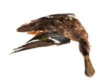 The shoveler. Duck (Anas clypeata Stock Photos