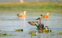 Shoveler duck pair. Northern shoveler duck family (Anas clypeata) or shoveller with wings spread royalty free stock images