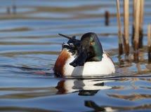 Shoveler Duck stock photos