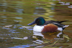 Shoveler duck. Swimming on the lake closeup Royalty Free Stock Photography