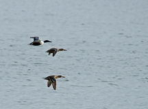 Shoveler Ducks in Flight Royalty Free Stock Photos