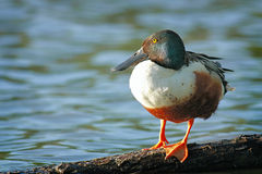 Shoveler 2. A Northern Shoveler duck sitting onn a log Stock Photos