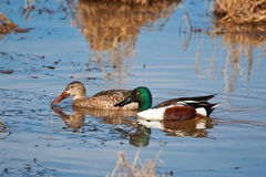 Shoveler Pair, Male/Female. Male and Female Shoveler Duck pair for comparison Stock Photos