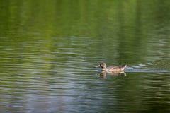 Shoveler swimming on green water Royalty Free Stock Photography