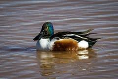 Shovelhead在浪端的白色泡沫的鸭子游泳在亚利桑那 免版税库存照片