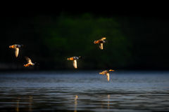 Shoveller Ducks in Flight Stock Photos