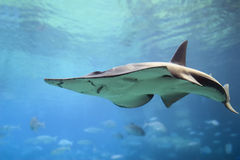 ShovelNose. White-Spotted Shovelnose Ray (Rhynchobatus djiddensis Stock Photos