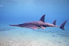 Shovelnose. Shark swimming over broken coral bottom Stock Images