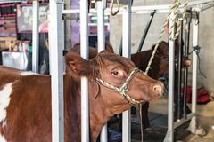 Show cattle in blocking chutes. Show calves being prepared for competition while standing in blocking chutes Royalty Free Stock Image