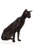 Show Champion Black Oriental Siamese Stock Image
