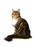 Show champion Maine Coon brown tabby. Brown tabby Maine Coon, on white background royalty free stock images