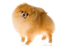 Show champion Pomeranian on white background Royalty Free Stock Photo