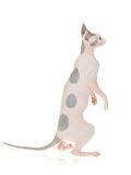 Show champion Sphynx on white background Stock Photography