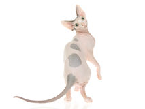 Show champion Sphynx on white background Royalty Free Stock Image