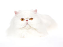 Show champion white copper eyed Persian Royalty Free Stock Photography