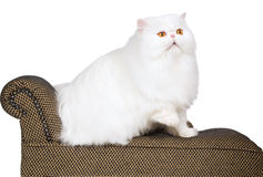 Show champion white copper eyed Persian Royalty Free Stock Image