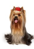 Show class dog with bow Royalty Free Stock Images