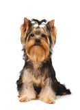 Show class puppy. Of the Yorkshire Terrier over white Royalty Free Stock Photos