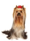 Show class yorkie with bow Royalty Free Stock Images