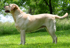 Show Dog. Labrador Retriever in a show pose Royalty Free Stock Image