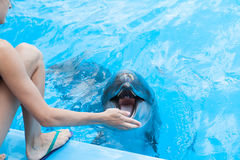 Show with dolphins in the Dolphinarium. Family vacation stock images