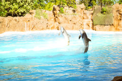 Show with dolphins in the pool, Loro parque, Tenerife Royalty Free Stock Photos
