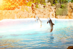 Show with dolphins in the pool, Loro parque, Tenerife Stock Photography