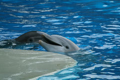 Show with dolphins Royalty Free Stock Images
