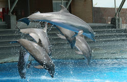 Show with dolphins Stock Images