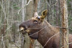 A show of force. Early spring. In the elk male begin to grow new antlers. These protrusions on his forehead define the beginning of growth. Over the summer, they Royalty Free Stock Photography