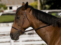 Show horse Stock Image