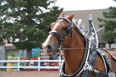 Show horse running Stock Image