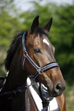 Show jumper horse head closeup against green natural background Stock Image