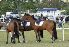 Show jumping horses waiting having a gossip stock images