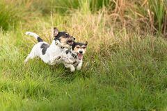 Show light aggressive behavior. Actually cute and peaceful Jack Russell Terriers who just exaggerate in the game royalty free stock image